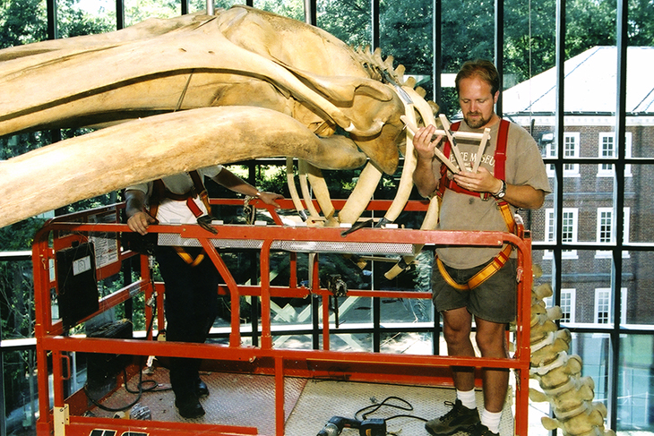 A worker prepares the suspend the whale's skeleton from the ceiling