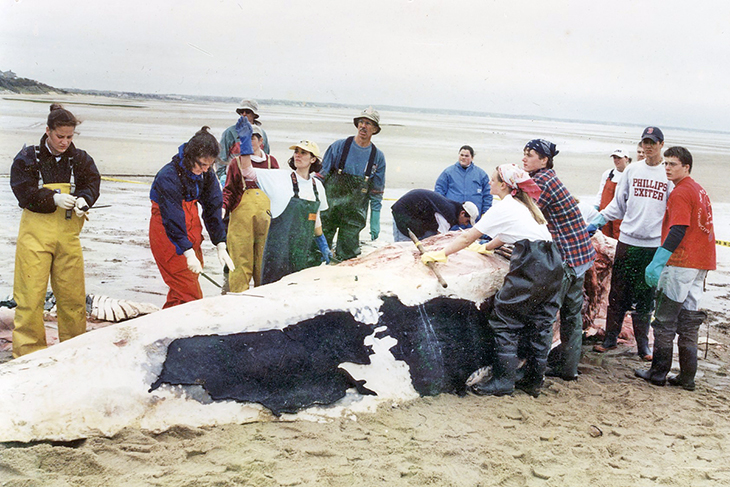A team from Phillips Exeter works to process a beached whale