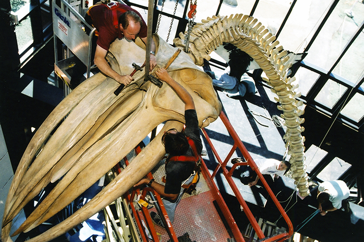 Workers fashion a support system to suspend the whale's skeleton
