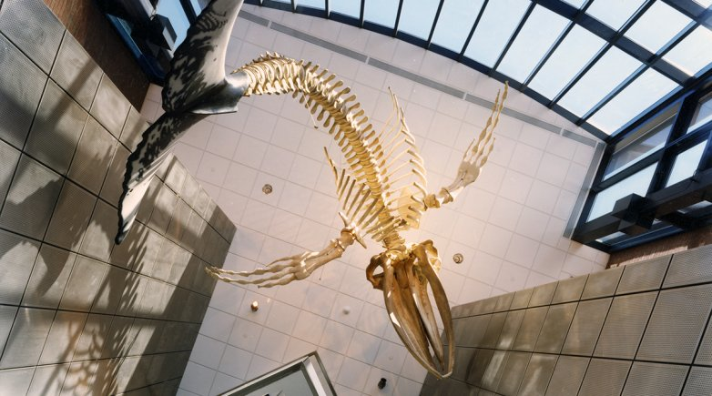 Whale skeleton hanging in Phelps Science Center.